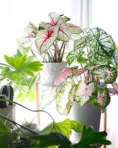 27 Interior Design Plants Inside House Pictures Caladiums – Houseplants – Colorful – Pink and Green Plants Hanging Plants, Potted Plants, Indoor Plants, Diy Hanging, Tomato Plants, Foliage Plants, Indoor Gardening, Interior Design Plants, Decoration Plante