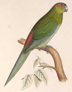 EXTINCT- Illustration of Black-fronted Parakeet © By Marc Athanase Parfait Œillet Des Murs (1804-1878)