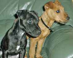 Expect to find red, black, brown and black, liver and tan within the Patterdale Terrier dog.