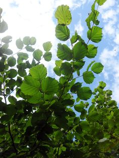 VMSomⒶ KOPPA: Pähkinäpensas Plant Leaves, Knowledge, Fruit, Nature, Plants, Photos, Naturaleza, Pictures, Plant