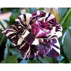 Black Dragon Rose - AWESOME!