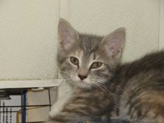 Tabitha is an adoptable Maine Coon Cat in Spring City, PA. 6/10/12: Tabitha is an absolutely gorgeous, 9 week old, medium length hair, gray tabby that has some splashes of browns on her back. She was ...