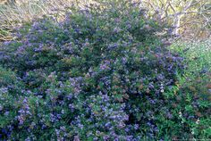 Ceanothus 'Concha', California native flowering shrub. Summer-Dry Plants and Gardens