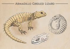 IL·LUSTRACIÈNCIA: Armadillo Girdled Lizard  -  Viplov Singh