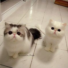 The only cat I would ever consider getting is an exotic shorthair. They are so cute they look fake