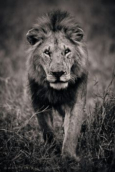 One day in my living room, I will have a monstrous picture of a lion like this one. Be Fierce.