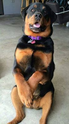 19 Ways Having A Rottweiler Ruins You For Life Big Dogs, I Love Dogs, Cute Dogs, Dogs And Puppies, Doggies, Rottweiler Breeders, Rottweiler Dog, Beautiful Dogs, Animals Beautiful