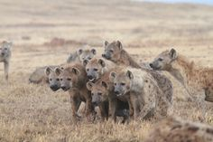 Why Some Hyena Sons Stay Home While Others Move Out | IFLScience