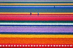 Saindo do verde, surge essa explosão de cores! São os lindos campos de tulipa na Holanda, claro! Não dá vontade de mergulhar nesse listrado todo feito pela natureza?