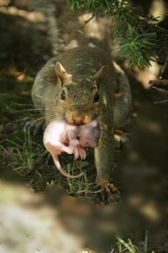 """""""Just Moving Junior!"""" Brand new squirrel and his momma on the move."""