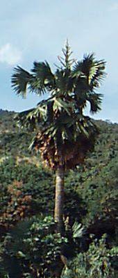 Estrelas do Sítio Burle Marx: Estrela 03 - Corypha umbraculifera
