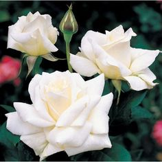 An award-winning rose, the white Pascali hybrid tea rose has beautiful buds and flowers. Description from rose-gardening-made-easy.com. I searched for this on bing.com/images