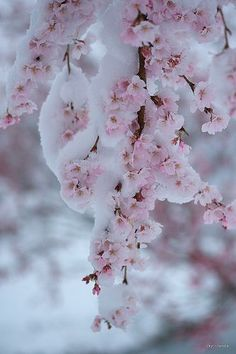 ✯ Cherry Blossoms in Snow http://vitrierparis6.urgence-plombier-electricien.fr