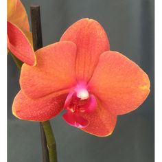dtps surf song orchids | Doritaenopsis Surf Song 'Orange'