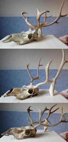 Reindeer Skulls by CabinetCuriosities.deviantart.com on @deviantART
