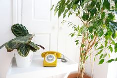 Indoor Weeping Fig Tree To Brighten Your Space - Oh Homely Girl