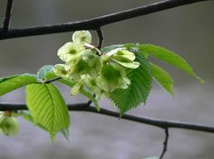Skogsalm, Ulmus glabra - Träd och buskar - NatureGate