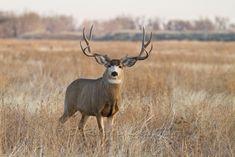Wide mule deer buck(Odocoileus hemionus)in Colorado Mule Deer Buck, Mule Deer Hunting, Deer Horns, Antlers, Whitetail Deer Pictures, Colorado, Big Deer, Outdoor Life, Nature Photography