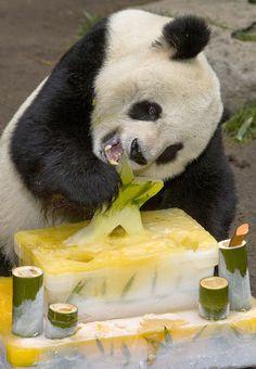 e17cdb318c0100 PANDAS  San Diego Zoo wishes happy birthday to Gao Gao
