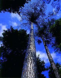 Anya Gallaccio - Silver-leafed Pine Tree