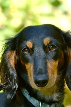 #Dachshund #Puppy #Dogs