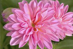 http://fineartamerica.com/featured/dahlia-delight-regina-geoghan.html