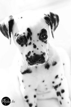 nawww... so cute #Dalmatian #puppy #blackwhite