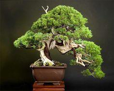Juniperus chinensis by Dr. Tri Djoko Endro Susilo - Indonesia
