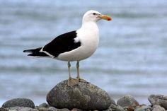 Southern black-backed gull Sea Birds, Wild Birds, Birds Online, Nature Journal, Gull, Western Australia, Beach Themes, Bird Art, Back To Black