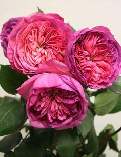 ~Rosa 'Baronesse' (discovered in Germany before 2009)~