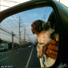 Pepperと #shihtzu #dog #drive #philippines #フィリピン #シーズー #犬