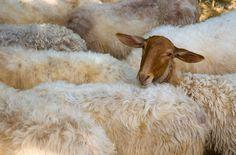 ovejas carranzanas cara roja
