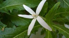 ปีบฝรั่ง, แสนประสะ (Hippobroma longiflora (L.) G.Don)