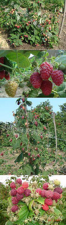 Мой ягодный сад / Журнал садовода Nikolaj / 7dach.ru