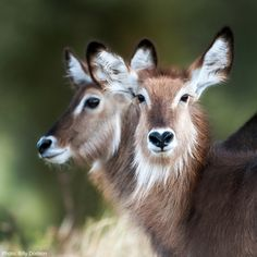 As its name would indicate, the waterbuck inhabits areas that are close to water in savanna grasslands, gallery forests, and riverine woodlands south of the Sahara. Such habitats not only provide sustenance, but long grasses and watery places in which to hide from predators.