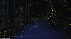 Lighting up the night: Stunning time-lapse images of fireflies that blaze beautiful patterns in the dark... Golden orbs: The artist captured a dazzling string of lights in Okayama Prefecture in a pattern that looks more like a constellation than fireflies