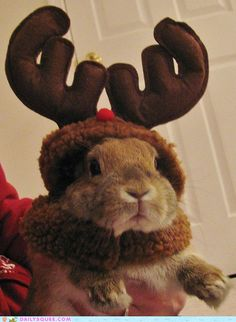 Professional Reindeer Impersonator.  Funny rabbit in reindeer antlers.  Pinned by Child Care Aware of Central Missouri.
