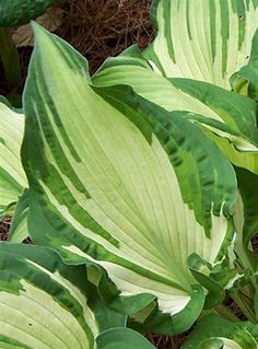 Hosta 'Beauty Queen' Sport of H. Dorothy. Leaf size is 12x9. 'Beauty Queen' offers supreme qualities of fine form, unique coloration, and unusual leaf characteristics. Held aloft on streaked petioles, blue-green curlie-q leaf edges enfold creamy white centers. A heavenly blue frost caresses the prominent veins giving the whole clump an ethereal quality. – Photo by Bevie Schmidt