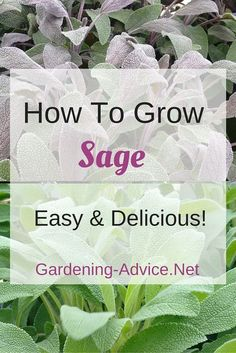 Sage Plant - How To Grow Sage In Your Culinary Herb Garden Everey serious herb gardener needs a Sage Plant! Growing Sage herb is not difficult: grow a bush in a container or in your garden and enjoy the delicious leaves! Sage Herb, Sage Plant, Growing Herbs, Growing Vegetables, Growing Ginger, Gardening For Beginners, Gardening Tips, Kitchen Gardening, Types Of Herbs