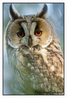 Owl... by Alain Balthazard