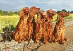 Irish Setters and small black creature. M. Flemström Just ignore it, maybe it will disappear......ummmm we don't see anything.....
