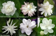 Variations in Jasminum Sambac Flowers, aka Arabian jasmine. Vine or shrub, great container plant.  If plant dries out, it loses leaves and can get bug infested. USDA zones 9-11. Partial shade.