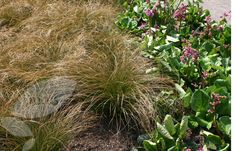 Buy sedge Carex testacea - A large, evergreen grass with coppery leaves : 2 litre pot: Delivery by Crocus Garden Spaces, Outdoor, Plants, Grass, Flowers, Olive Garden Delivery, Evergreen, Flower Spike, Crocus