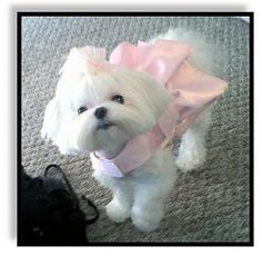Puppy Cuts - Maltese Dogs Forum : Spoiled Maltese Forums