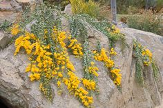 Australian Native Garden, Australian Native Flowers, Australian Plants, Cottage Garden Plants, Garden Trees, House Landscape, Landscape Design, Acacia, Flora