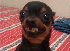 so verocious but cute Funny Dog Memes, Really Funny Memes, Cat Memes, Funny Dogs, Cute Animal Memes, Cute Funny Animals, Funny Animal Pictures, Cute Puppies, Cute Dogs