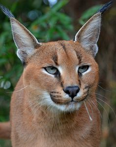 Caracal(Caracal caracal) photographed by Roger Sargent at Big Cat Sanctuary, Kent UK Caracal, Domestic Cat, The World's Greatest, Big Cats, Lions, Panther, Animal Pictures, Horses, Animals
