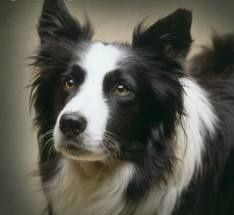 Love Border Collies  - once you own one, you'll never have anything else.  This is not our dog, but she, Roxie, has the same blaze, mouth, white collar, and look in those beautiful brown eyes.