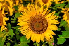 Waxahachie Sunflowers