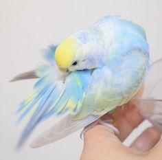 A pastel Budgie beauty. Cute Birds, Pretty Birds, Beautiful Birds, Animals Beautiful, Pretty Animals, Cute Little Animals, Cute Funny Animals, Cute Creatures, Beautiful Creatures